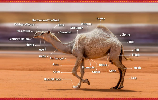 (Photo from Alaibil Festival - King Abdulaziz Camel Beauty Contest website)